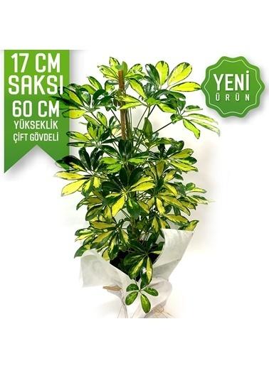 Çiçek Antalya Çiçek Antalya Şeflera Schefflera Salon Bitkisi Saksı Çiçeği Çift Gövdeli 60 Cm Yeşil